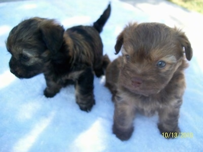 Close up - Two small, young puppies, a brown Russian Tsvetnaya Bolonka puppy and a black Russian Tsvetnaya Bolonka puppy are sitting on a porch and they are looking to the left.