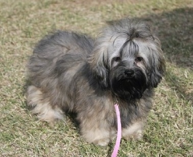 Front side view - A soft-looking, long coated, grey with white and black Russian Tsvetnaya Bolonka puppy is standing in grass looking forward. It has darker hair on its face and lighter fur on its body.