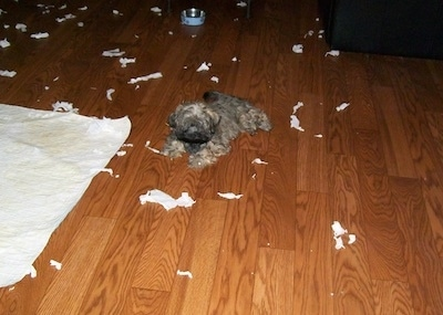 A tan with black Russian Tsvetnaya Bolonka puppy is laying on a hardwood floor and there are paper towels chewed up all around it.