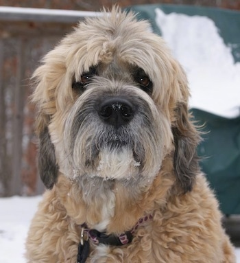 Close up head shot - A tan with white and black Saint Berdoodle is sitting on snow and it is looking forward. Its eyebrows are cut so its brown eyes show.