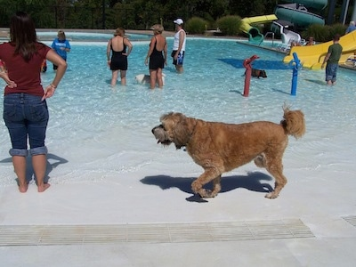 A shaved tan with white and black Saint Berdoodle is walking across a pool at a water park. There are people and other dogs in the water in the background.