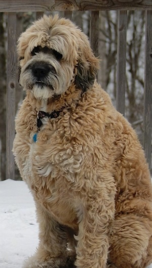 Front side view - A very large, tall, thick coated, tan with black Saint Berdoodle dog  is sitting in snow on a wooden deck looking to the left.
