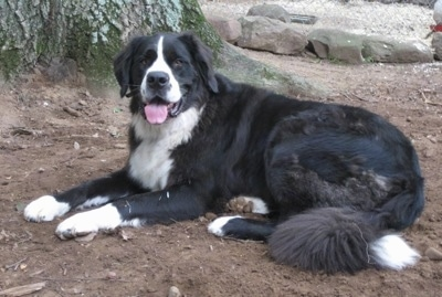 Harley (One of Xena & Gunner's sons) at 3 years old weighing 185 lbs. Courtesy of East Coast Bernadanes.