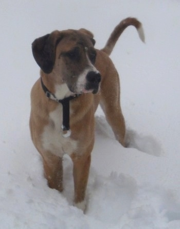 Front view - A brown with white and black Saint Dane is standing in deep snow looking to the right. It has a long tail.