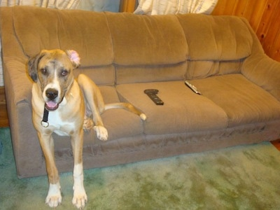 A brown with white Saint Dane is sitting on a couch and its front paws are on a carpet. It is looking forward, its mouth is open and its right ear is flipped inside out. There are a few TV remotes next to it.