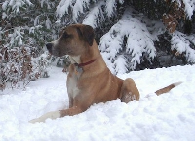 A brown with white and black Saint Dane is laying in snow and it is looking to the left. There is a pine tree with snow all over it in the background.