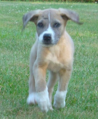 Front view- A small but lanky tan with white Saint Dane puppy is walking up a grass field and it is looking forward.
