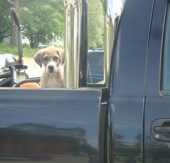 A tan with white Saint Dane puppy is sitting in the bed of a black pick-up truck.