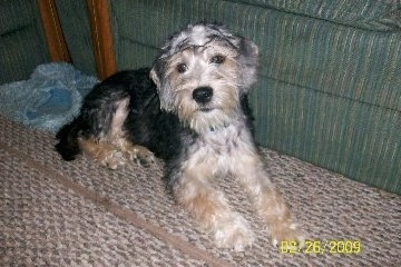 Schneagle Dog Breed Information And Pictures