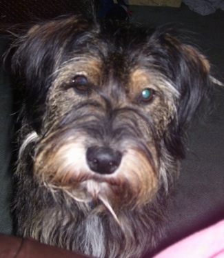 Close up head shot - A scruffy looking, longhaired, black with tan and white Schneagle is standing in front of a person on a couch. Its head is slightly tilted to the right.