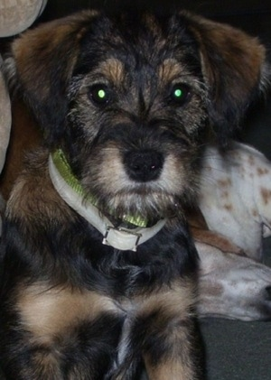 Close up head and upper body shot - A black with tan Schneagle puppy is sitting on a carpet and it is looking forward. Its body looks soft and its head looks wiry.