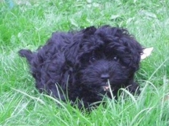Scoodle Dog Breed Information And Pictures