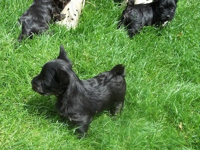 A shiny coated, black Scorkie puppy is standing in grass and it is looking to the left. There are other Scorkie puppies standing behind it.