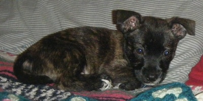 Side view - A brindle black with tan and white Scotchi puppy is laying across a bed and against a pillow.
