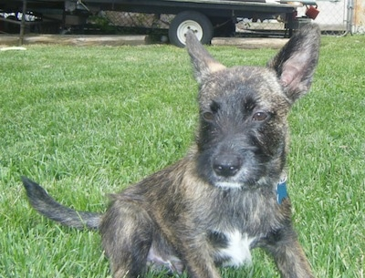 A wiry looking, black with tan and white brindle Scotchi puppy is sitting in grass looking forward. The dog has a patch of white on its chest and under its chin and very large perk ears.