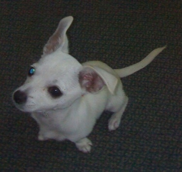 Top down view of a shorthaired, white Scotchi dog that is sitting on a carpet looking up. The dog has large ears. One ear is up and the other is folded over.