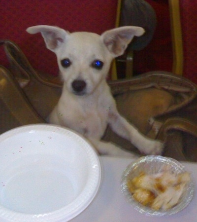 A white Scotchi puppy is sitting in a brown purse and it is looking up at a table in front of it. The table has an empty plastic white bowl and a tin container of chicken on it. The dog has large ears that stand out to the sides like a muppet.