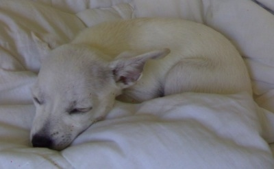 A white Scotchi puppy is sleeping on a bed. It has large ears that are pinned back. The dog's eyes are closed.