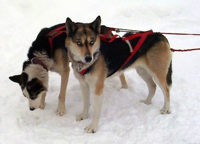Two black with white and tan Seppala Siberian Sleddogs are hooked to pulling harnesses standing in snow and the back most dog is smelling the ground. The dog in front has blue eyes.