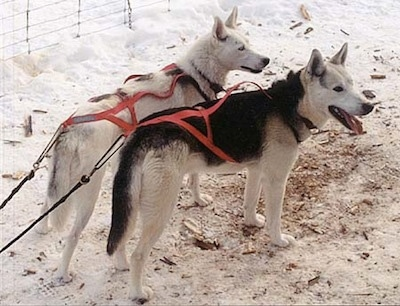 The back right side of two Seppala Siberian Sleddogs that are hooked to red pulling harnesses. They both are standing in snow and they are looking to the right.