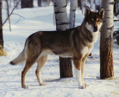 The right side of a black with white and tan Seppala Siberian Sleddog that is standing in snow and it is looking forward. The dog looks like an artic sled type.