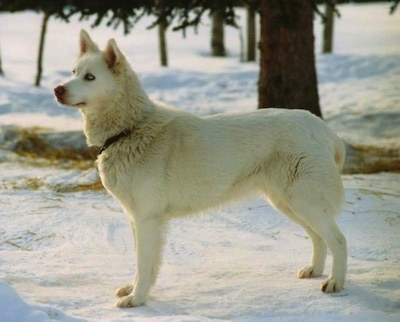 Left Profile - A white Seppala Siberian Sleddog with blue eyes is standing in snow and it is looking to the left.