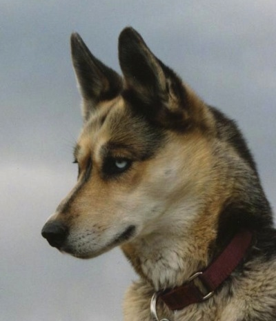 Close up - The left side of a black with tan and white Seppala Siberian Sleddogs head that is looking to the left. The dog has perk ears and blue eyes.