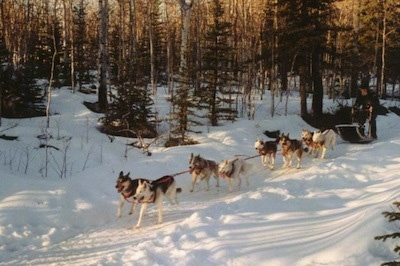 A team of 8 sledding dogs are pulling a sleigh through a path in the snow.