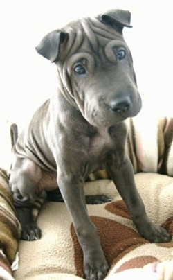 A wrinkly grey Shar Pei is sitting on a dog bed and it is looking down. Its head is slightly tilted to the left and its almond shaped eyes are open wide. It has small folded over ears and a really wide thick muzzle.