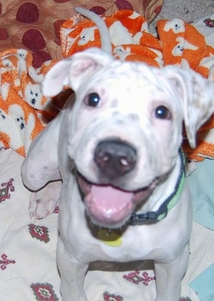 Close up - A white with black Sharmatian puppy is sitting on a blanket. It is looking up, its mouth is open and it looks like it is smiling. It has a white body with black and brown spots.