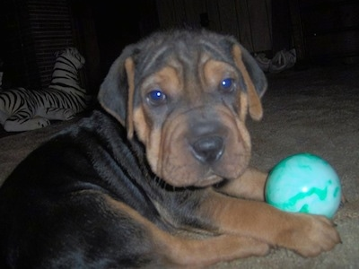 Close up side view - A black with brown Sharpeagle puppy is laying on a carpet and it is looking forward. There is a green ball in its front paws. The pup has a large square head with wrinkles and extra skin.
