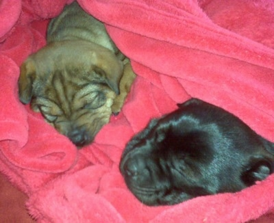 Two wrinkly pups - A black Sharpeagle puppy and a tan Sharpeagle puppy are sleeping in a hot pink blanket that is wrapped around them.