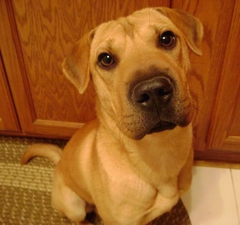 Snickers comes from a male Shar Pei and a female Beagle. Shown here at 9 months old.