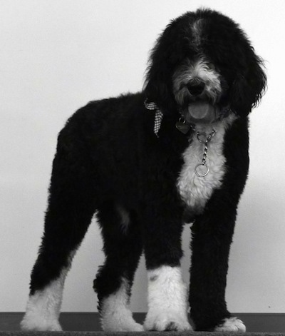 Ferguson the Sheepadoodle at 2 years old.