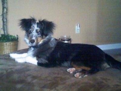 Sheltidoodle Dog Breed Information And Pictures