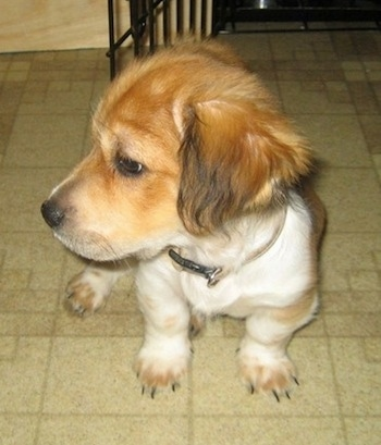 Front view - A shortlegged, low to the ground, red and white with black Sheltie Tzu is sitting on a tiled floor and it is looking to the left.