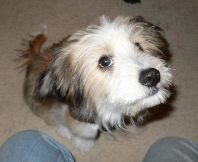 Pookey the Sheltie Shih-Tzu mix (Sheltie Tzu) puppy at 4.5 months old. Photo Courtesy of Suzie Schnalke.