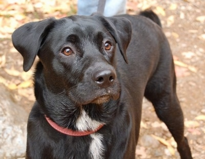 Jovie the Lab/Australian Shepherd (Sheprador) mix as a 9 month old dog ...