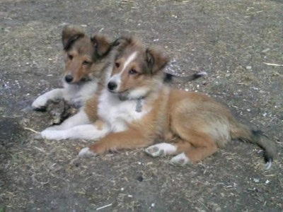 Two tan with white and brown Shetland Sheepdog puppies are laying across a dirt surface looking forward.