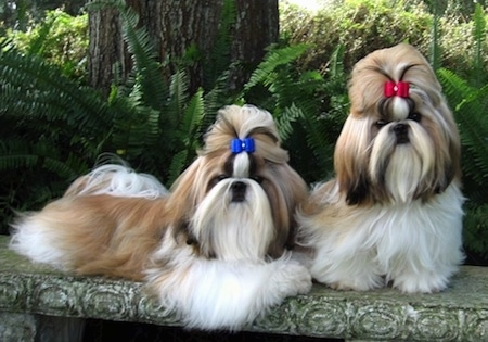 Shitzu Puppies on Shih Tzu Information And Pictures  Shih Tzus