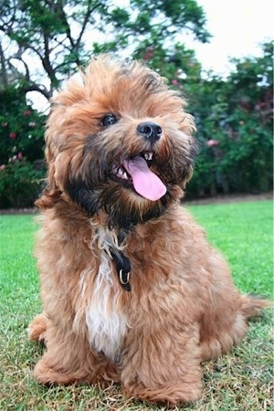 Front view - A thick, wavy coated, brown with white and black Shorkie Tzu dog is laying in grass looking to the right. Its mouth is open, tongue is out and it looks like it is smiling. Its nose is black and its eyes are dark.