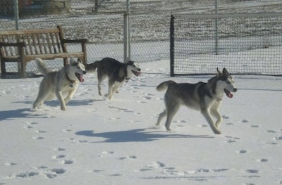 Action shot - Three Siberian Huskies are running across a snowy surface, all of there mouths are open and paws are in the air and there is a chainlink fence behind them.