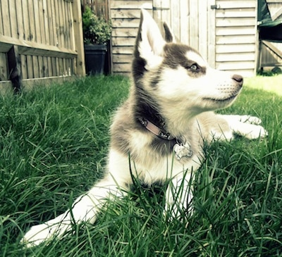 Siberian Husky Dog Breed Pictures 1