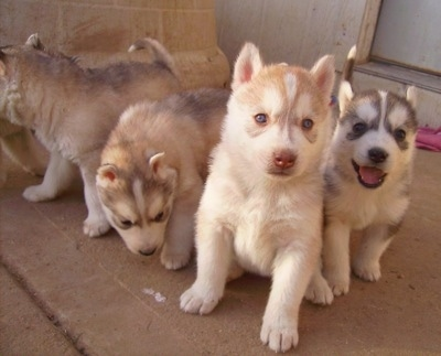 Siberian Husky puppies sired by Husky (shown above).
