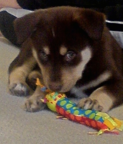 Close up front view - A brown with tan Siberian Retriever puppy is laying on a carpet, it is placing its paw on a colorful toy in front of it.