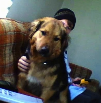 Front view - A big black with tan Siberian Retriever is sitting on a brown plaid couch looking at a remote on the arm of the couch. There is a person in a black ski hat sitting behind it and touching the dogs side.