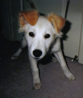 Close up - A white with red Siberian Retriever is standing on a carpet, it is looking forward and its head is tilted to the right. Its body is all white and its ears are a bright golden brown.
