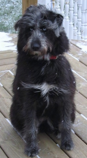 Front view - A longhaired, wavy coated, blue-eyed, black with white Siberpoo dog is sitting on a wooden deck that has snow on it. The dog is looking to the left.