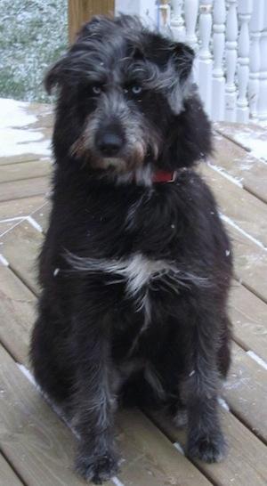 Siberian Husky Poodle Mix Dogs
