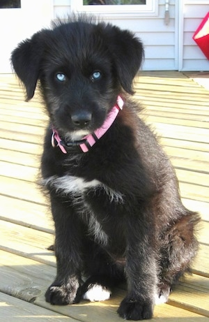 A bright blue eyed, black with white Siberpoo puppy is wearing a pink collar sitting on a hardwood floor and it is looking forward.